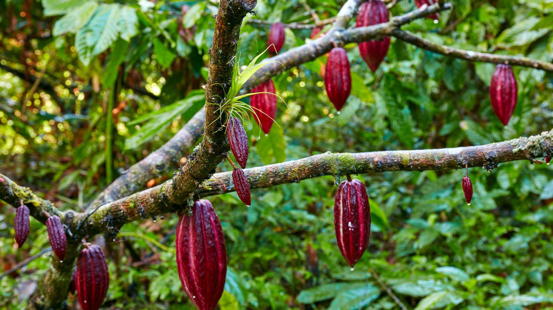 نحوه تولید پودر کاکائو